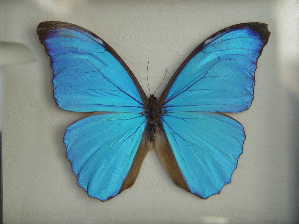 DSC03591 Morpho menelaus, Jižní Amerika